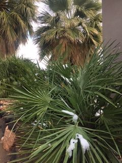 Snow on palm fronds